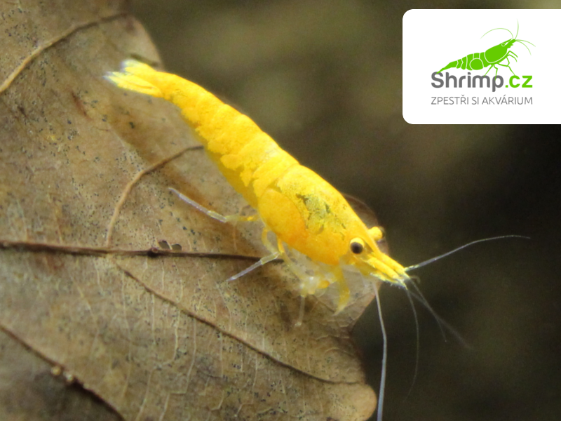 Yellow fire 10 ks - Neocaridina davidi