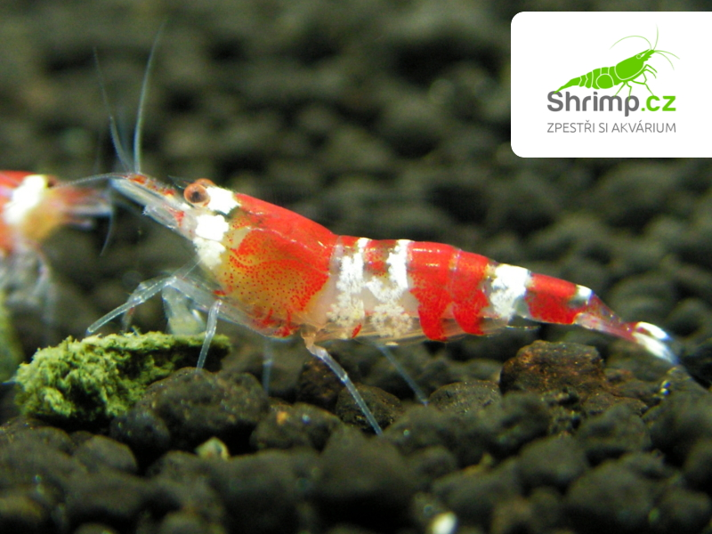 Crystal Red 10 ks (Caridina cf. cantonensis)