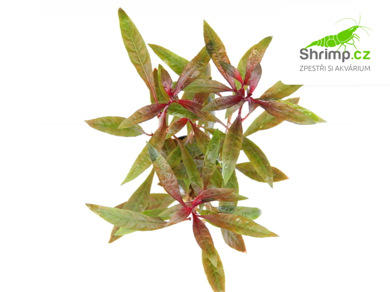 Ludwigia glandulosa - in vitro 500 ml