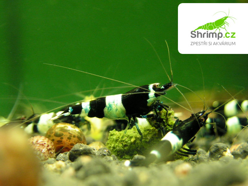 Black Panda 10 ks (Caridina sp.)