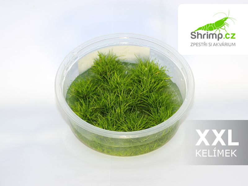 Eleocharis pusilla - in vitro 300 ml