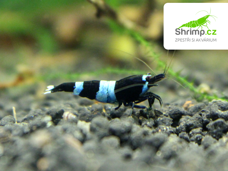 Black Panda (Caridina sp.)